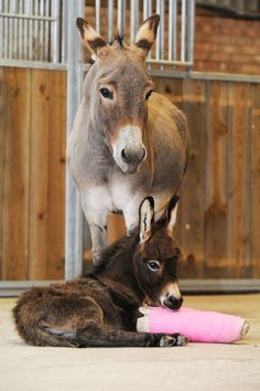 Baby Donkey With Two Pink Casts.... cutest sad thing ever