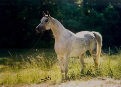 Miss Maggie Mae (The Minstril x Bint Magidaa) A beautiful 1991 Grey Mare. 2011 Egyptian Event Leading Dam of Champions on our farm in Waco, Texas.