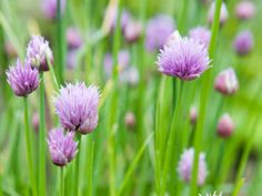 Chives Are Easy-to-Grow Perennial Herbs