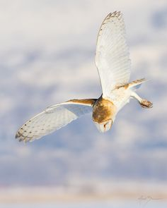 Barn owl hunting by M. Summers