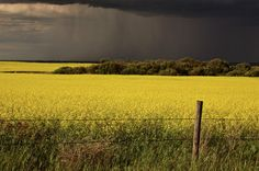 Photo about Rain front approaching Saskatchewan canola crop Canada. Image of grass, fence, saskatchewan - 14899366 Canola Field, Summer Landscape, Summer Beauty, Ciel, True Beauty, Life Is Good, Nature, Stock Photos, Sugar Substitute
