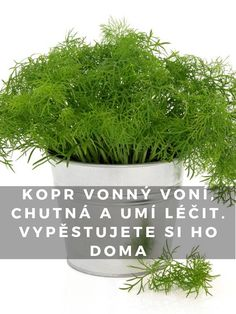 Kopr vonný voní, chutná a umí léčit. Planting Vegetables, Korn, Herbs, Plants, Herb, Plant, Growing Vegetables, Planets, Medicinal Plants