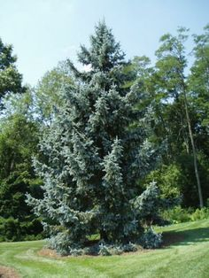 Rich's Foxwillow Pines Nursery, Inc. - Picea pungens – 'Thomsen' Colorado Spruce - Its shape reminds me of a Serbian spruce, but blue...