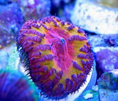 Blastomussa corals