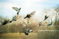 City Pigeons - Bird Wall Art - Nature Photography - Birds in Flight - Urban - Fine Art 8x12 by LIsaBonowiczPhotos via Etsy #fpoe