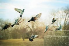 City Pigeons - Bird Wall Art - Nature Photography - Birds in Flight - Urban - Fine Art 8x12 by LIsaBonowiczPhotos via Etsy #fpoe