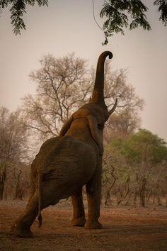 餌に鼻を伸ばすゾウ(ザンビア)