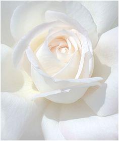 Beautiful vanilla bloom. #white #rose