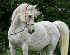 Baraka Shakirah (Ansata El Shahraf x Akid Bint El Sareei (x Akid El Sareei) 2002 grey SE mare bred by Baraka Farm, Arkansas
