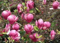 Google Image Result for http://www.mooseyscountrygarden.com/botanical-gardens/flowers-magnolia.jpg
