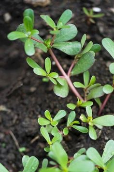 Plants you can eat in nature. Survival Food, Survival Stuff, Survival Tips, Medicinal Weeds, Wood Sorrel, Edible Wild Plants, Wild Edibles, All Nature, Healing Herbs