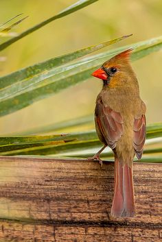Female Cardinal. What a beauty she is. One of my very favorite birds.