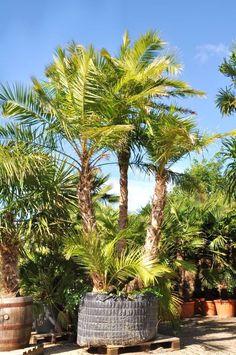 Phoenix reclinata Phoenix, Plants, Bamboo, Nice Asses, Plant, Planets