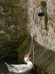 One of a pair of cheeky Muscovy ducks that have swooped in and taken over the duties of bell ringing swans at Bishop's Palace, Wells, Somerset. For longer than people can remember the swans that inhabit the moat at the picturesque Somerset spot have been trained to ring a bell with their beaks in order to get fed.    The custom is said to have been started by the daughter of a palace caretaker has continued uninterrupted since then and become something of a tourist attraction.