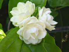 Sampaguita - The National Flower of The Philippines.