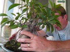 How to turn a Ginseng Ficus into a real Bonsai Tree - YouTube