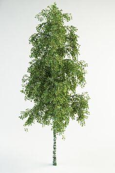 3d model realistic birch