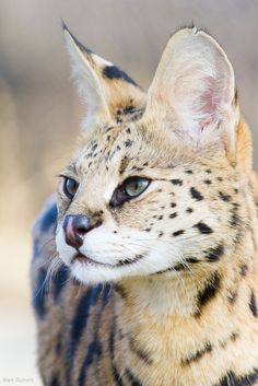 Serval (by Mark Dumont)