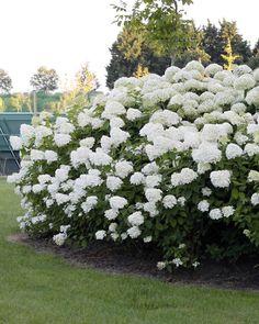 Uhkean muhkea syyskesän kukkija. Garden Plants, Hydrangea, Outdoor Gardens, Terrace, Flowers, Heaven, Gardening, Display, Space