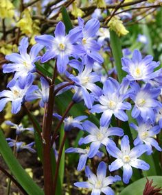 "Spring. Full-partial sun. Chionodoxa forbesii Blue Giant. 6-8""high. 9/sq ft. 50/18.50, 100/32.00"