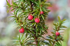 Barlind - Taxus baccata (photo by Gunn-Rita Mosheim)