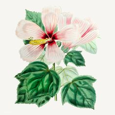 Vintage marsh hibiscus for decoration | free image by rawpixel.com Pink Glitter Background, Flower Branch, Backgrounds Free, Hibiscus Flowers, Free Illustrations, Botanical Illustration, Free Images, Vector Free, Bloom