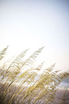 Sea Oats is an attra