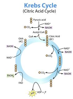 Krebs cycle- simple and easier to read