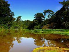A floresta tropical da Amazônia é formada por uma vegetação densa e úmida que cobre a maior parte da Bacia Amazônica, na América do Sul. floresta