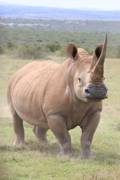 Best Images Endangered Species rhino Tips You are aware how significantly I adore wildlife. I moved world to trap a new peek at wildlife in the wild — o. Nature Animals, Zoo Animals, Animals And Pets, Cute Animals, Wild Animals, Endangered Animals Facts, Endangered Species, Northern White Rhinoceros, African Animals