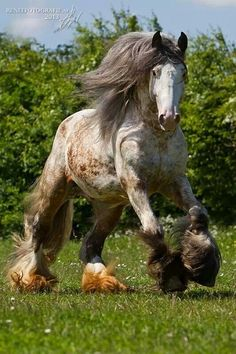 Fantastic roaning and crisp bald face. Excessive yet beautiful feathers around those hooves of his. Long, flowing mane and balanced stride. Gorgeous horse.