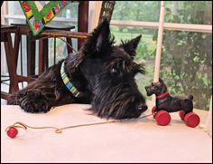 Hello... why won't you answer me?  Scottie dog with his new toy.  #ScottishTerrier