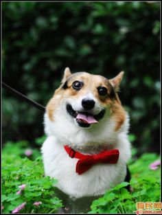 """Corgi Agility, Bow Tie Division: """"It is impossible to spill soup on a bow tie. In fact, it requires extreme agility to spill anything on it at all."""" - Arthur M. Schlesinger - Pembroke Welsh Corgi in bow tie from CorgiAddict."""