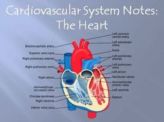 This 22 slide power point presentation covers the second part of my unit on the Cardiovascular System for a high school Anatomy & Physiology or Biology course. It includes descriptions of the structure of the heart wall, the four heart chambers, and the four heart valves. $