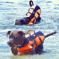 River Snacks? Rut Roh! #dogs #pitbull #dogsports #river #crab