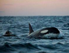 Orques en Norvège par Pierre Robert de Latour