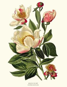 White Peony Flower Botanical Art Print