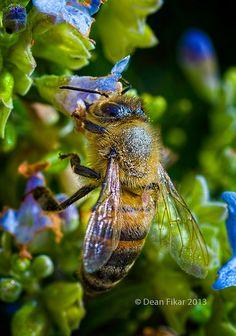 Bee on rosemary bush