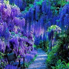 Beautiful Amazing World -  Wisteria sinensis in full bloom, Weinheim, Germany!