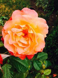 Lieschens-Bilder: Duft Rose