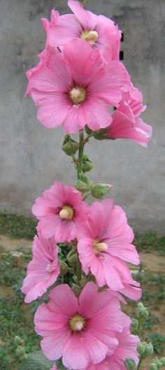 "500px / Photo ""Hollyhock"" by Raghavendra Kumar Pande"