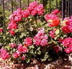 39 Best Mini roses images Mini roses Planting roses