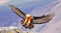 Absurd Creature of the Week: The Magnificent Bearded Vulture Only Eats Bone. Metal, Dude | WIRED