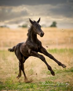 black foal running through pasture, Liberty, Stallion, Denver, Colorado, Equine Photography, Bianca McCarty Photography
