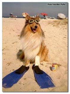 Smooth Collie, Rough Collie, Collie Puppies, Collie Dog, Dog Funnies, Coastal Christmas, Aussies, Border Collies, Cover Pics