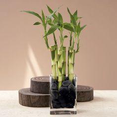 O Bambu da sorte é uma das plantas mais populares e resistentes. Segundo a tradição chinesa, é fonte de energia positiva e transmite boas vibrações. A filosofia do Feng-Shui também a associa à longevidade e embora o Bambu da sorte seja popular entre praticantes de Feng Shui faz décadas, a sua popularidade tem-se vindo a espalhar rapidamente, com cada vez mais pessoas a abraçar o seu simbolismo de boa sorte, prosperidade e sucesso. É a planta ideal para pessoas que não percebem muito de…