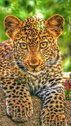 Todos os animais nascem iguais perante a vida e têm os mesmos direitos à existência.  #Belo #Leopardo