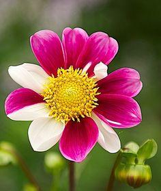 Unusual - magenta and cream petals variegated!