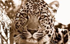 leopard wallpapers for mac desktop (Auden Longman 2560x1600)