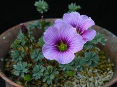 http://homepage3.nifty.com/alm/480jpg/Oxalis_enneaphylla_patagonia.jpg